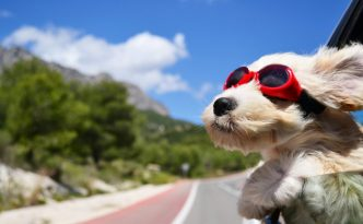 9391_a-white-puppy-with-red-swim-glasses-on-the-car-window